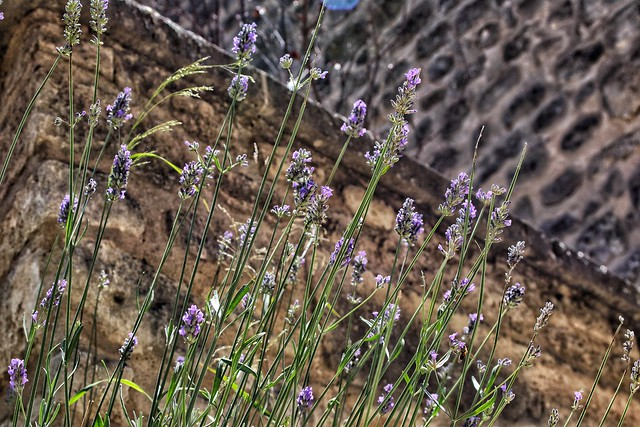 Lavender, Canon EOS REBEL SL2, Canon EF 28-70mm f/3.5-4.5