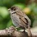 Juvenile House Sparrow (Passer domesticus)