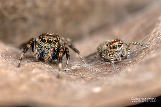 Jumping spiders (Tusitala sp.) - DSC_4469