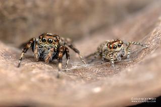 Jumping spiders (Tusitala sp.) - DSC_4469