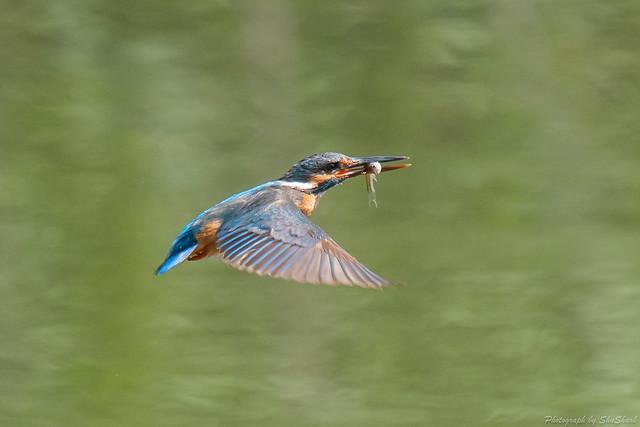 20180629-kingfisher-DSC_5077