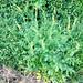 20180625 Agrimony - Agrimonia eupatoria Nobury Inkberrow Worcestershire