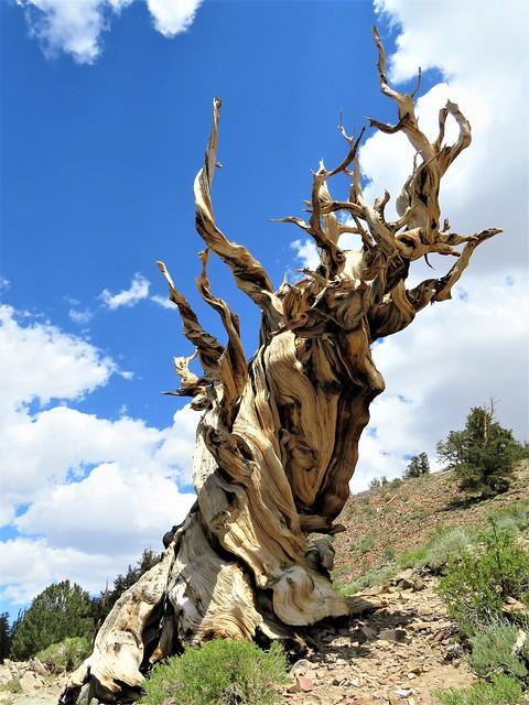 Ancient Bristlecone Pine Forest, Canon POWERSHOT SX720 HS