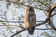 Barred Owl 500_7198.jpg