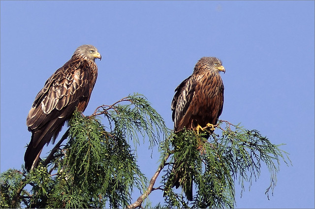 Red Kites at Rest
