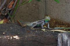 Desert Spiny Lizard (male)
