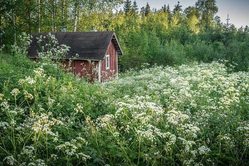 old sauna flower field summer landscape evening sunny lasikangas ylipää raahe finland forest