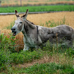 L'âne hennit