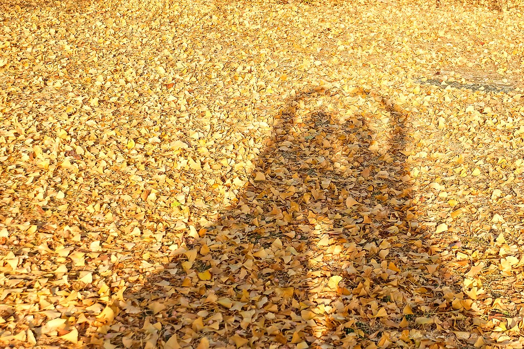 shadow_ginko_trees
