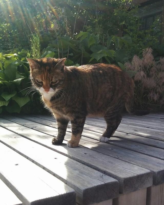Tortoiseshell on patrol, Kensington Manor #toronto #kensingtonmarket #kensingtonmanor #oxfordstreet #cats #tortoiseshell #tortoiseshellcat #catsofinstagram #catstagram