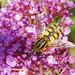Hovefly Helophilus hybridus