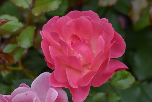 Rosa floribunda 'Maxi Vita'