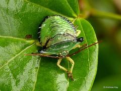 Shield bug nymph, Edessa sp.