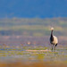 The demoiselle crane (Grus virgo)