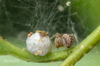 Comb-footed spider (Theridiidae) - DSC_6521