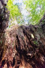 Wilson's stump