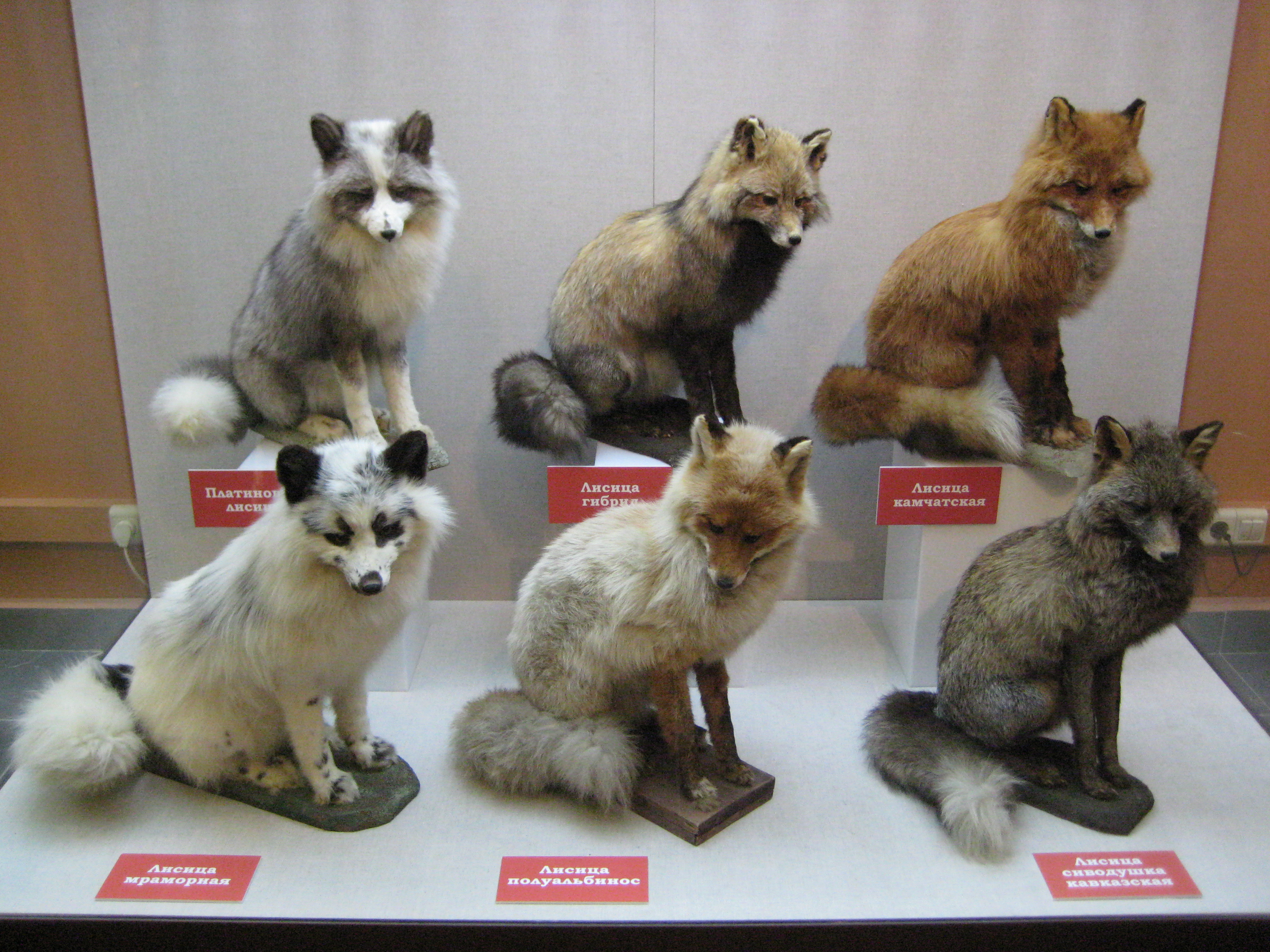 Various taxidermied red fox colour variations