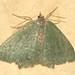 Common Emerald (Hemithea aestivaria)