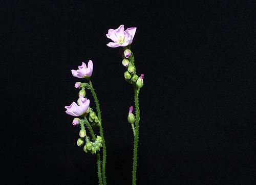Sundew Flowers IMG_6342
