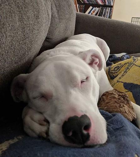 You look like you need a sleeping doggo. #Carla #dogsofinstagram #pitbullsofinstagram #pitbullmix