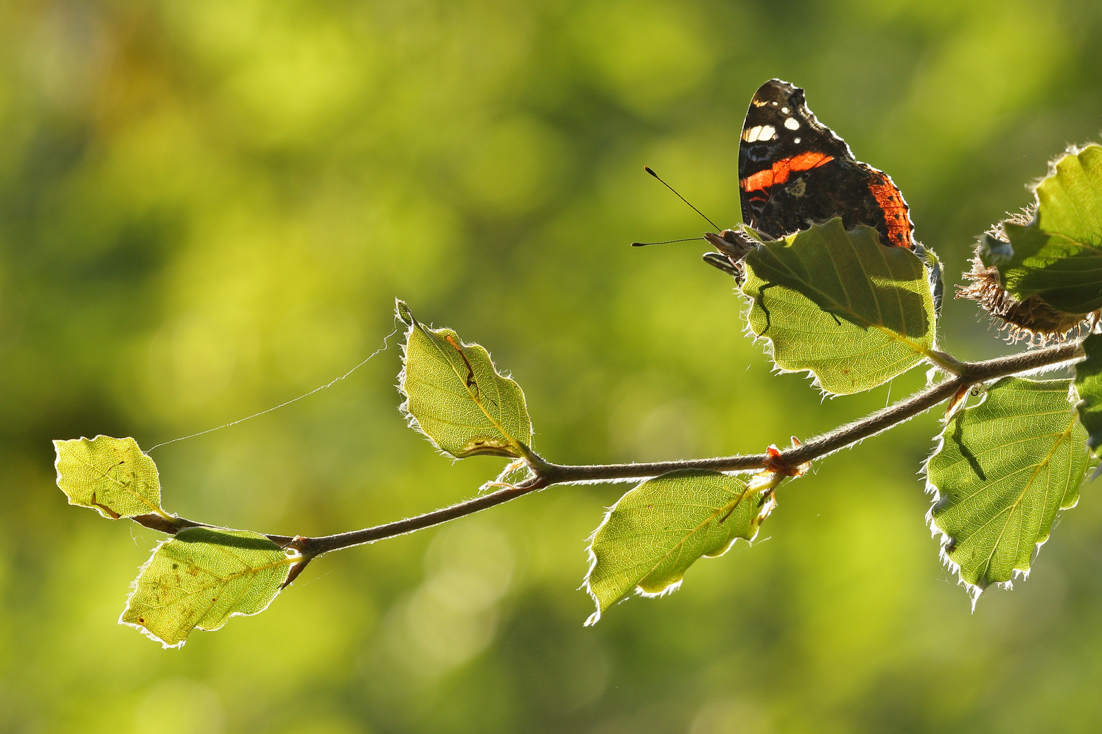 Red Admiral on branch