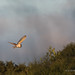 Barn Owl - Woods Mill (11)