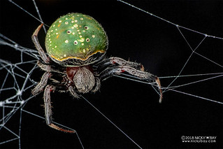 Green orb weaver spider (Araneus sp.) - DSC_2991