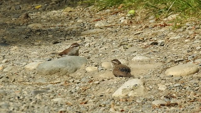 Bewick's Wrens Dust Bath 2  June 27, 2018 Campbell Valley