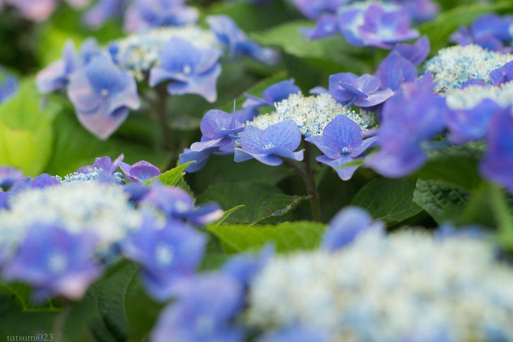 2018-06-16 開成町の紫陽花 005-4