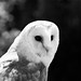 Barn Owl at Colchester Zoo
