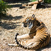 Amur Tiger at Colchester Zoo