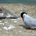 Cute baby tern at Preston Docks