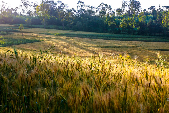 Wheat field in Ethiopia
