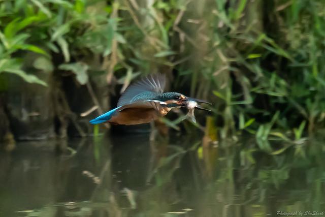 20180715-kingfisher-DSC_6438