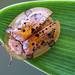 Tortoise beetle by andredekesel