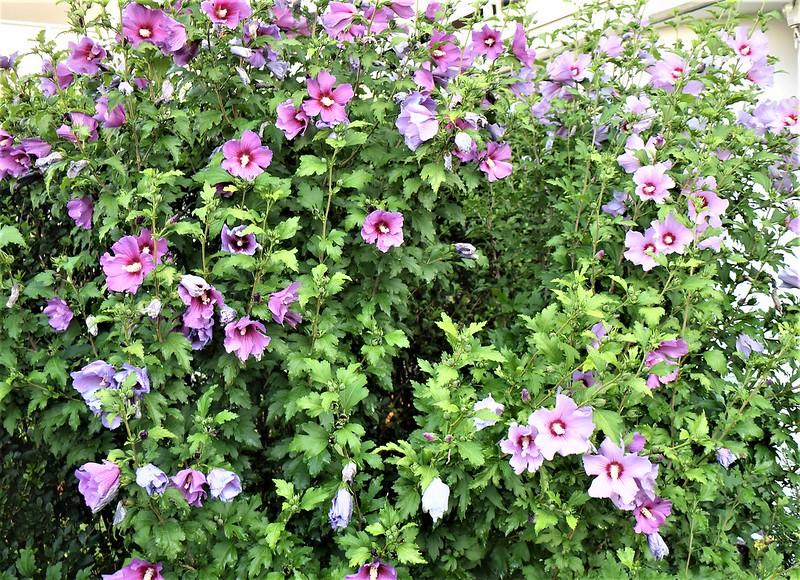 Hibiscus 18.07 (3)