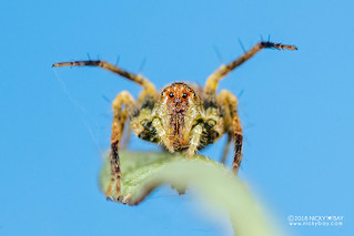 Lynx spider (Oxyopes sp.) - DSC_4773