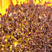 Sunflower macro 2