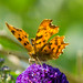 Comma butterfly on buddleia flower