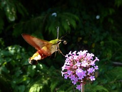 Sphinx gazé - Broad-bordered Bee Hawkmoth