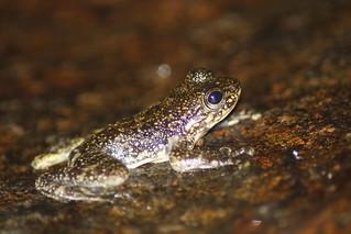 Hong Kong torrent frog (Amolops hongkongensis)