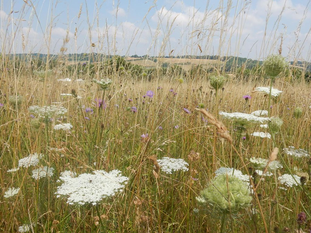 Wildflower meadow Culham Court. Marlow Circular