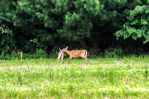 Nudging along - doe encouraging older fawn to scurry off.