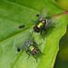 P6190003_Blow flies