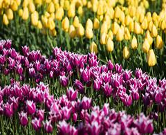 More Tulips I