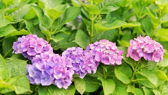 DSC09359-01花菜ガーデン