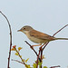 Common Whitethroat, Hodbarrow, Cumbria, England