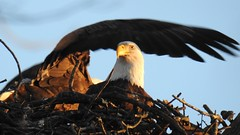 Bald Eagles in their Nest