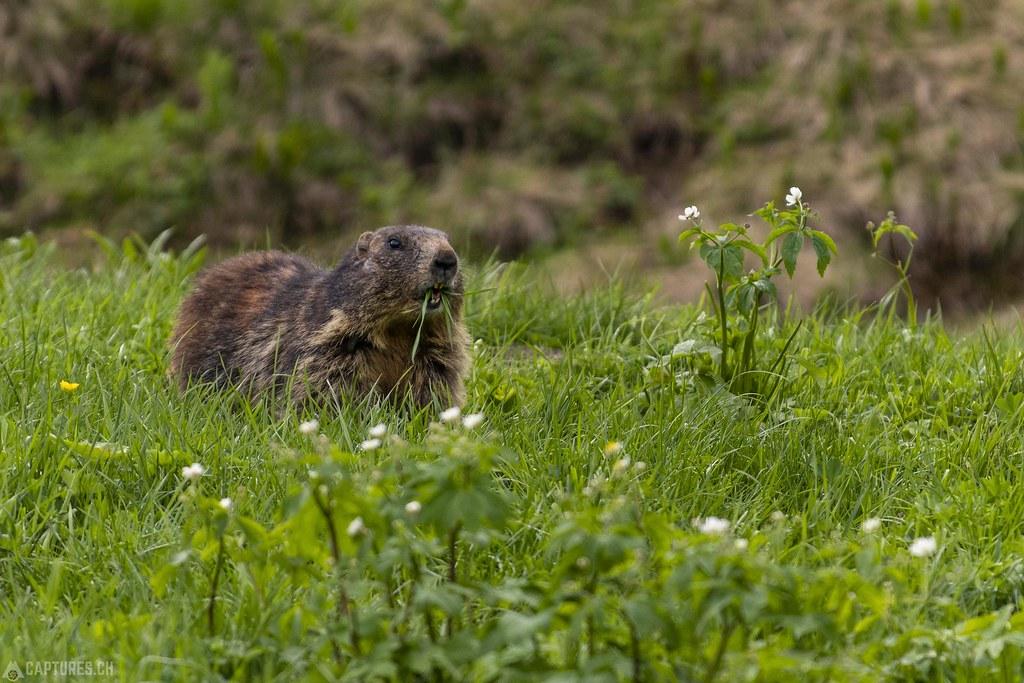 Marmot 1 - Trübsee