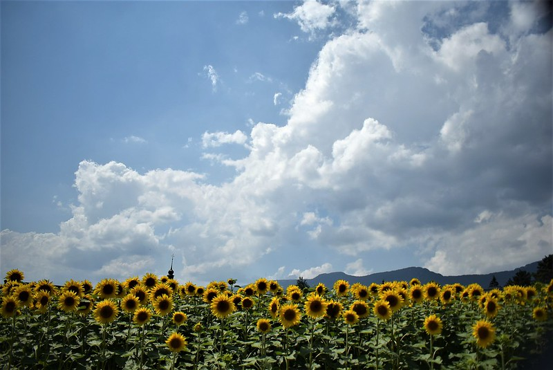 Sunflowers 30.06 (1)